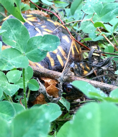 Common Box Turtle, Terrapene Carolina in clover