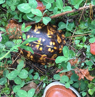 Common Box Turtle, Terrapene Carolina