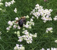 Eastern Carpenter Bee - Xylocopa virginica