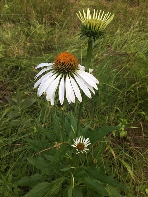 Echinacea purpurea - purple coneflower, white version