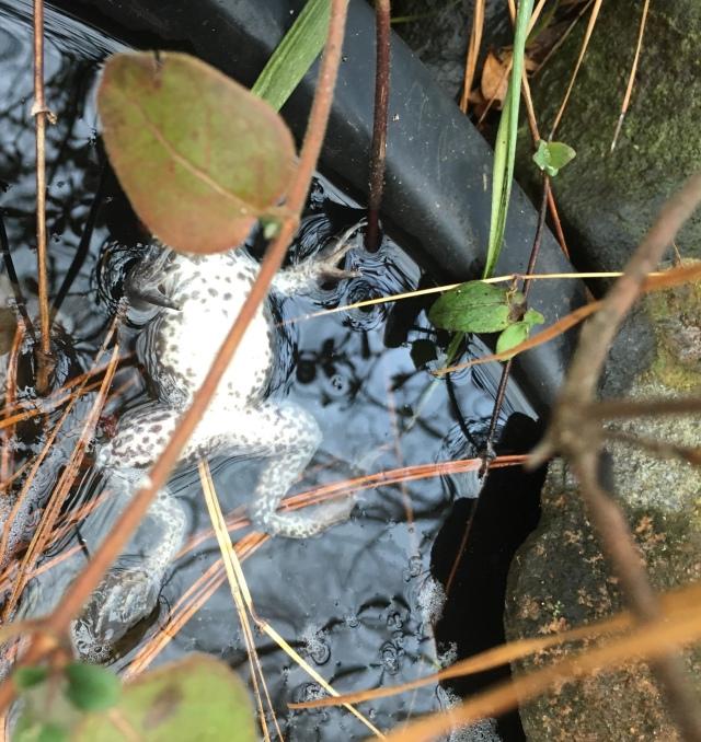 Upland Chorus Frog -Pseudacris feriarum feriarum