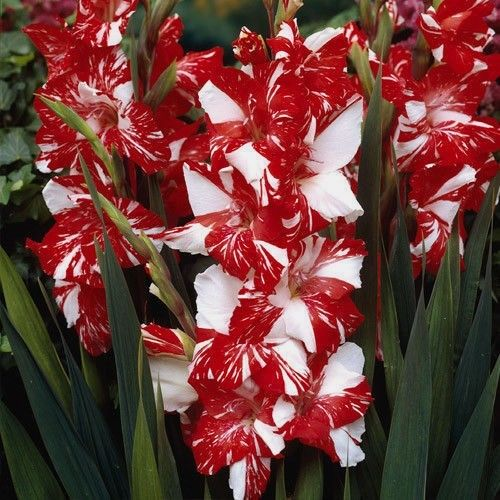 Gladiolus 'Zizane', gorgeous red and white color.